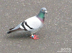 足環をつけた鳩