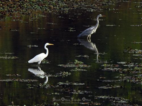 白鷺と青鷺