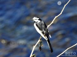 利尻島の野鳥(01)