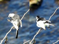 利尻島の野鳥(02)