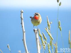 利尻島の野鳥(03)
