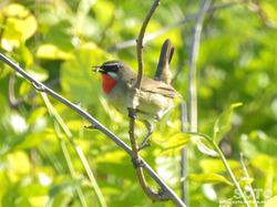 利尻島の野鳥(04)