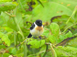 利尻島の野鳥(05)