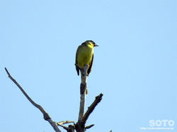 利尻島の野鳥(06)