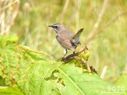 利尻島の野鳥(08)