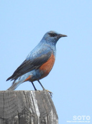 利尻島の野鳥(07)