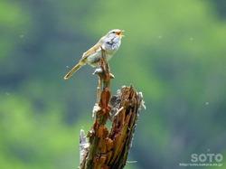 利尻島の野鳥(09)