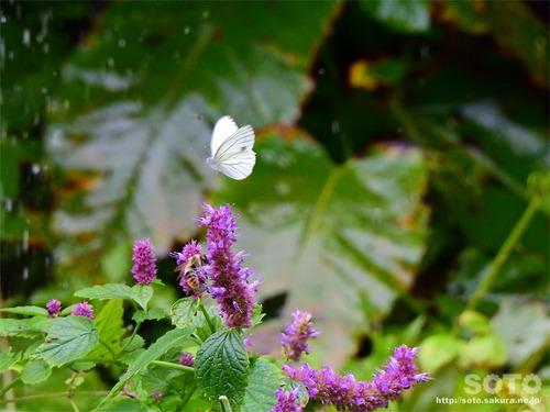 岩尾別(花と蝶)
