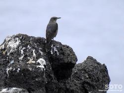 利尻島の野鳥(10)