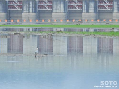 二風谷ダム(アオサギ)
