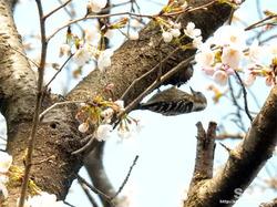 泗水 桜並木(野鳥)
