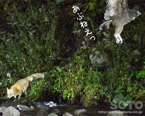 シマフクロウとキツネ