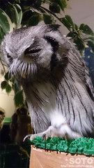 フクロウのみせ(6)