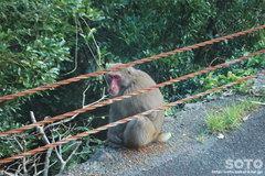 佐多岬(野生の猿)