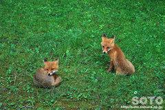 カムイワッカ(狐)