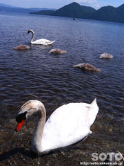 白鳥(洞爺湖)