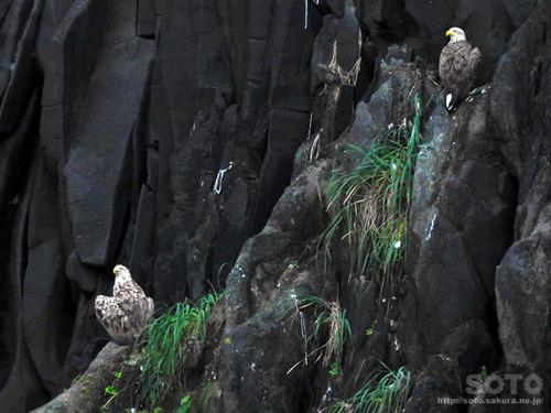 知床海鳥WEEK(07)