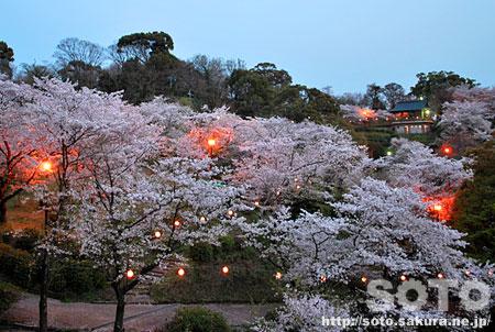 菊池公園 夜桜