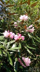 石楠花(1)