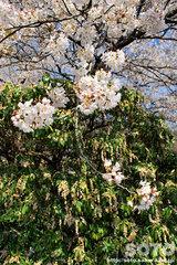 桜とアシビ