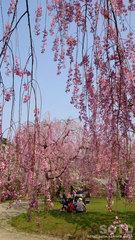 弘前公園の桜(3)