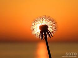 夕陽とタンポポ