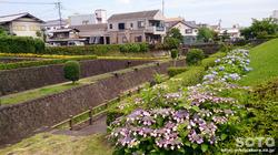 高瀬川花菖蒲(1)
