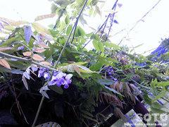 洞爺湖の藤 狂い咲き?