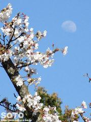 桜の花と月