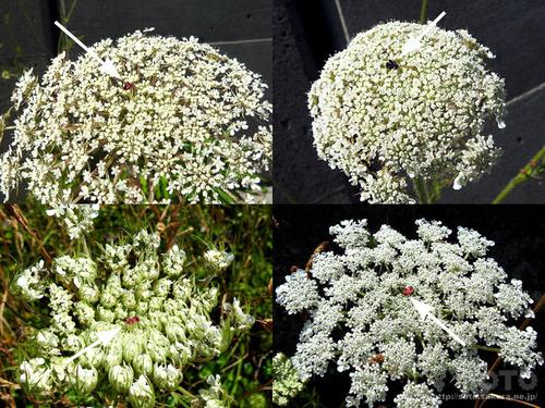 三本杉海岸(花)