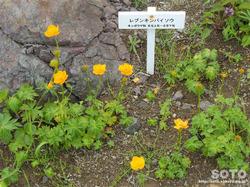 高山植物園(レブンキンバイソウ)
