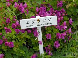 高山植物園(エゾツツジ)