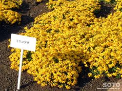 高山植物展示園(ミヤコグサ)