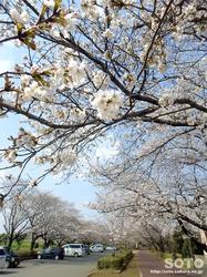 泗水 桜並木(1)