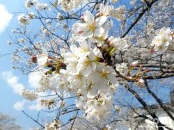 泗水 桜並木(2)