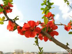 泗水 桜並木(ボケの花)