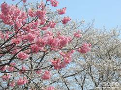 泗水 桜並木(3)