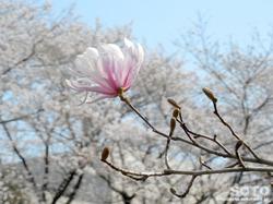 泗水 桜並木(コブシの花)