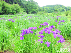 朝日公園花しょうぶ園(5)