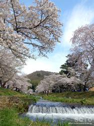 観音寺川の桜(1)