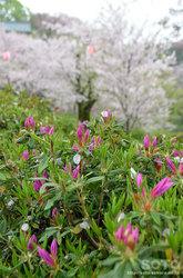 桜とツツジ