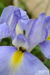 花しょうぶ祭り(ミツバチ)