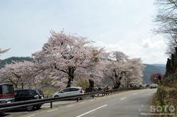 荘川桜(1)