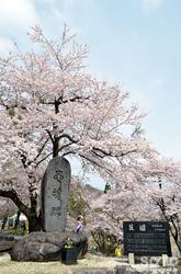荘川桜(2)