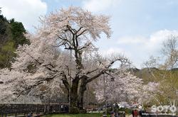 荘川桜(3)