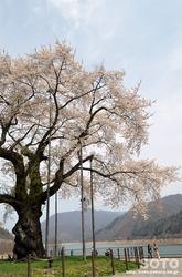 荘川桜(4)