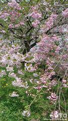 桜のコンボ