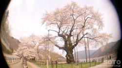 荘川桜(5)