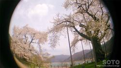 荘川桜(6)