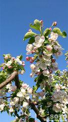 りんごの花(1)